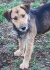 Irish Terrier Dog: Fossee