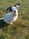 Chihuahua Dog: Gypsy