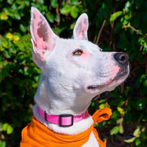 Belle, an adoptable Cattle Dog Mix in Sunnyvale, CA