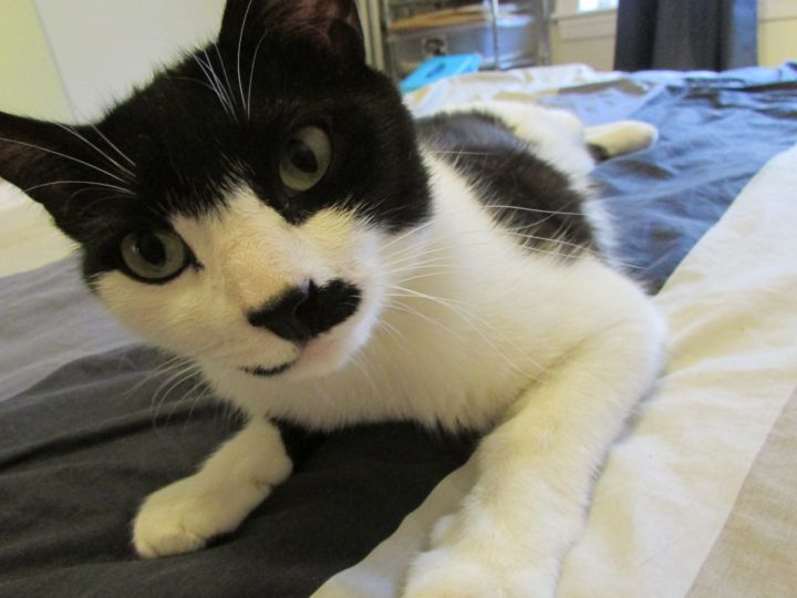 Ellie, an adopted Domestic Short Hair in Malden, MA