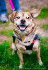 Norwegian Elkhound Dog: Sam (Has Application)
