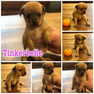 Tinkerbelle
