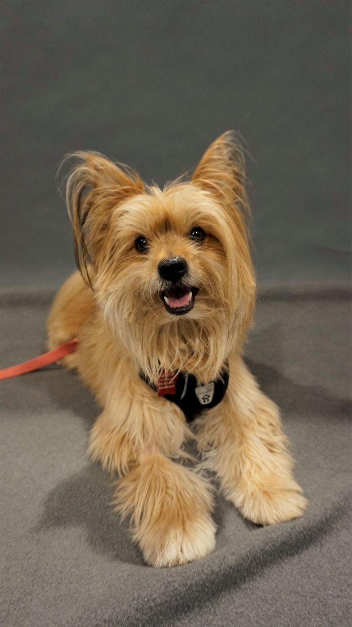 Dog For Adoption Skylar A Pomeranian Yorkshire Terrier Mix In