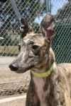 Greyhound Dog: CHEROKEE