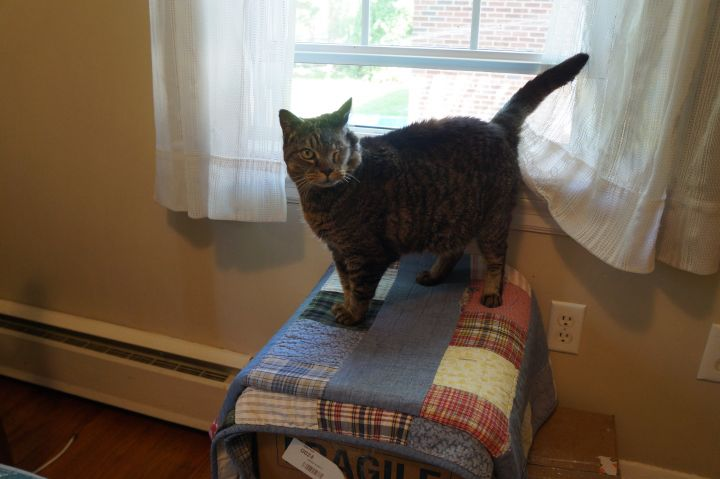 Catty Boh, an adopted Domestic Short Hair in Abingdon, MD