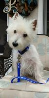 West Highland White Terrier Westie Dog: OZZIE