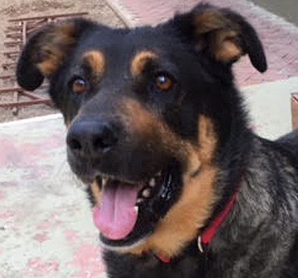 Dog For Adoption Cookie A German Shepherd Dog Rottweiler Mix In