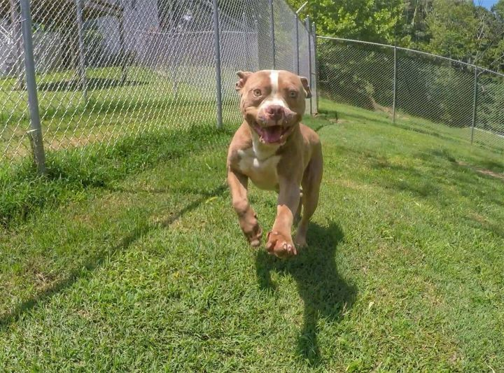 Smudge, an adoptable Pit Bull Terrier in Dallas, GA