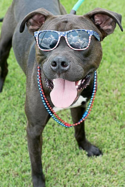 Nugget, an adoptable Pit Bull Terrier in Dallas, GA