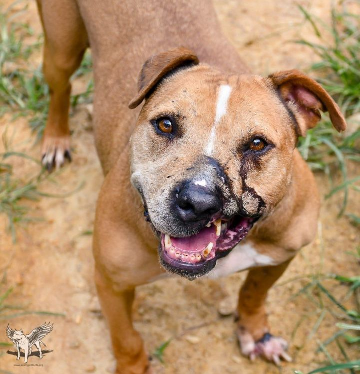 Sarah, an adoptable Pit Bull Terrier in Dallas, GA