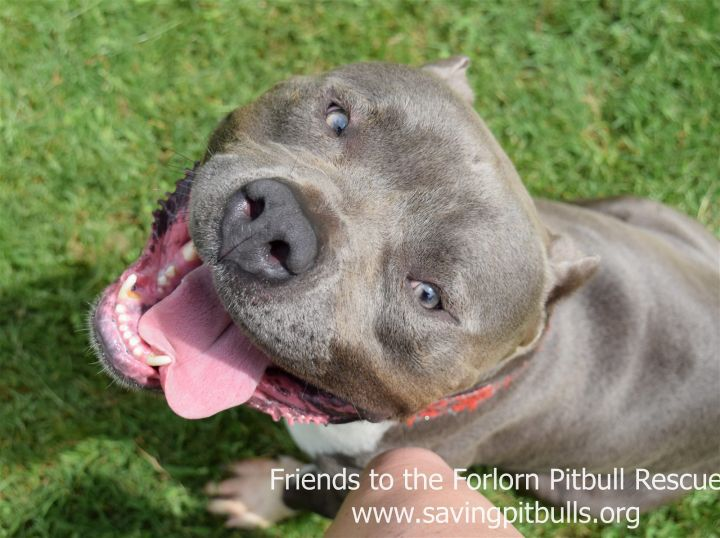 Rubble, an adoptable Pit Bull Terrier in Dallas, GA