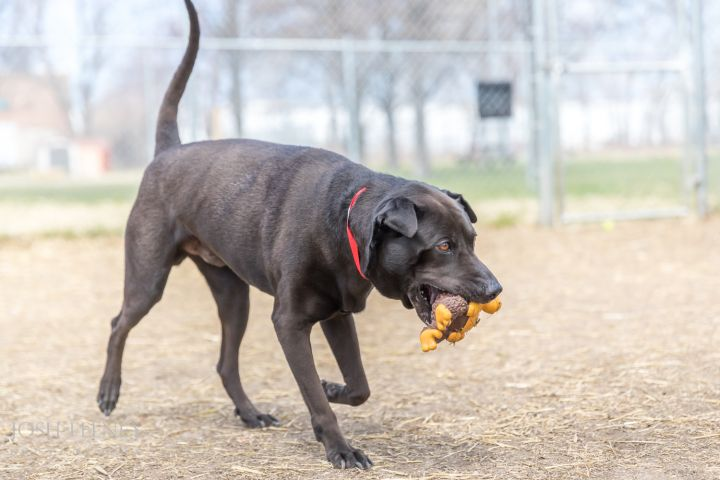 Toby, an adopted Labrador Retriever Mix in Chicago, IL