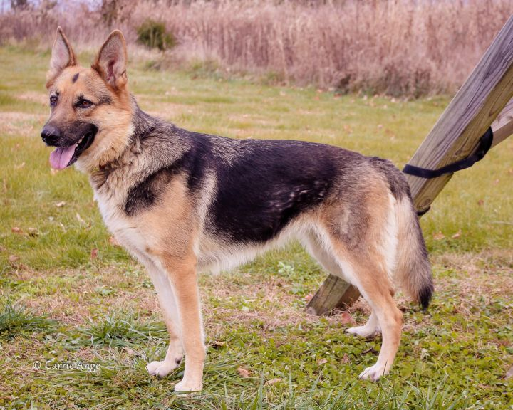 Layla, an adoptable German Shepherd Dog in Alexandria, VA