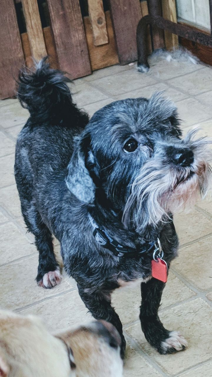 Toby, an adoptable Schnauzer & Shih Tzu Mix in Spring, TX