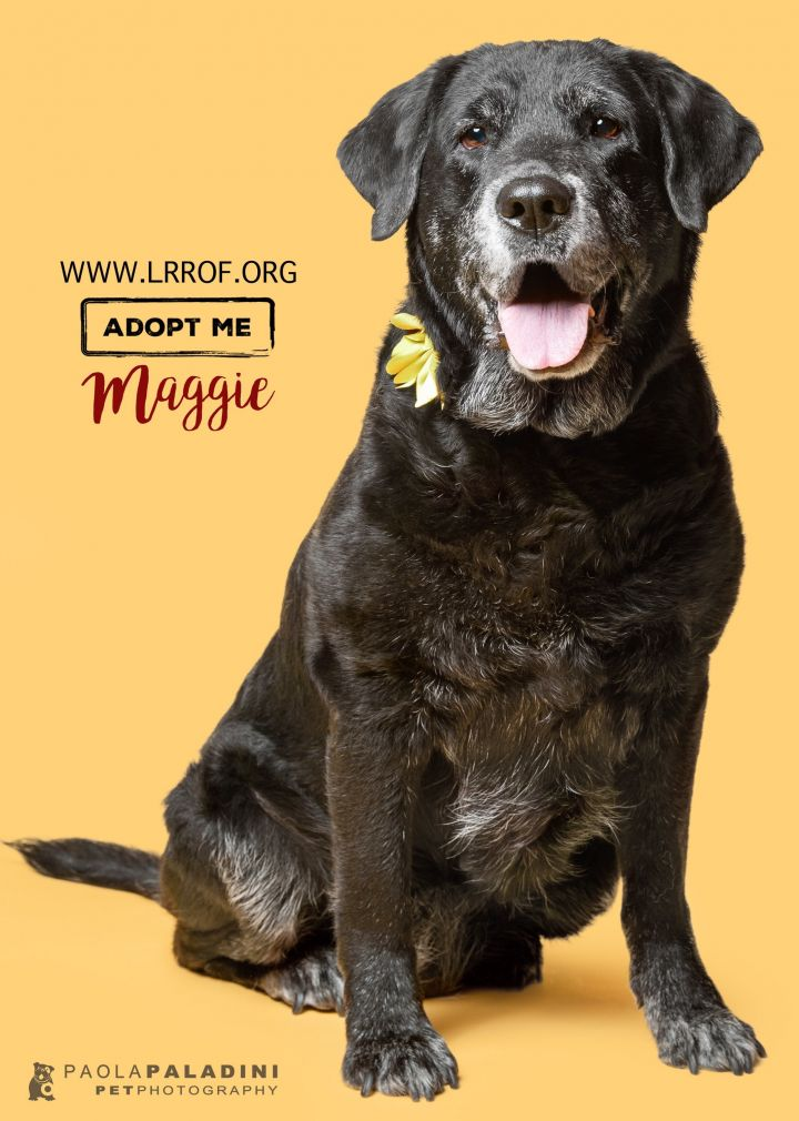 MAGGIE, an adopted Labrador Retriever in Fort Lauderdale, FL