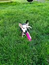 Chihuahua Dog: Ollie