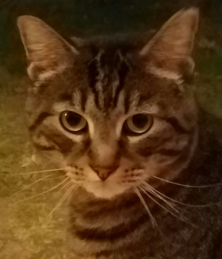 Cat For Adoption Diego Love Bug A Tabby Bengal Mix In Berlin