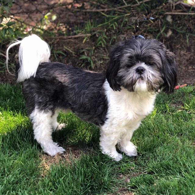 Dog For Adoption Lox A Shih Tzu In Santa Monica Ca Petfinder