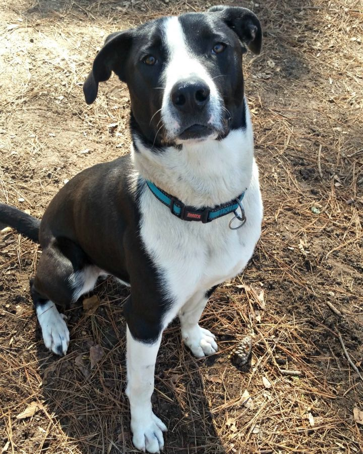 Shadow, an adoptable Border Collie & Great Dane Mix in Clayton, NC