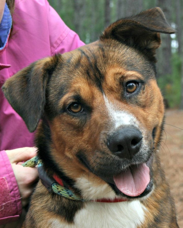 Phoenix, an adopted Shepherd Mix in Clayton, NC