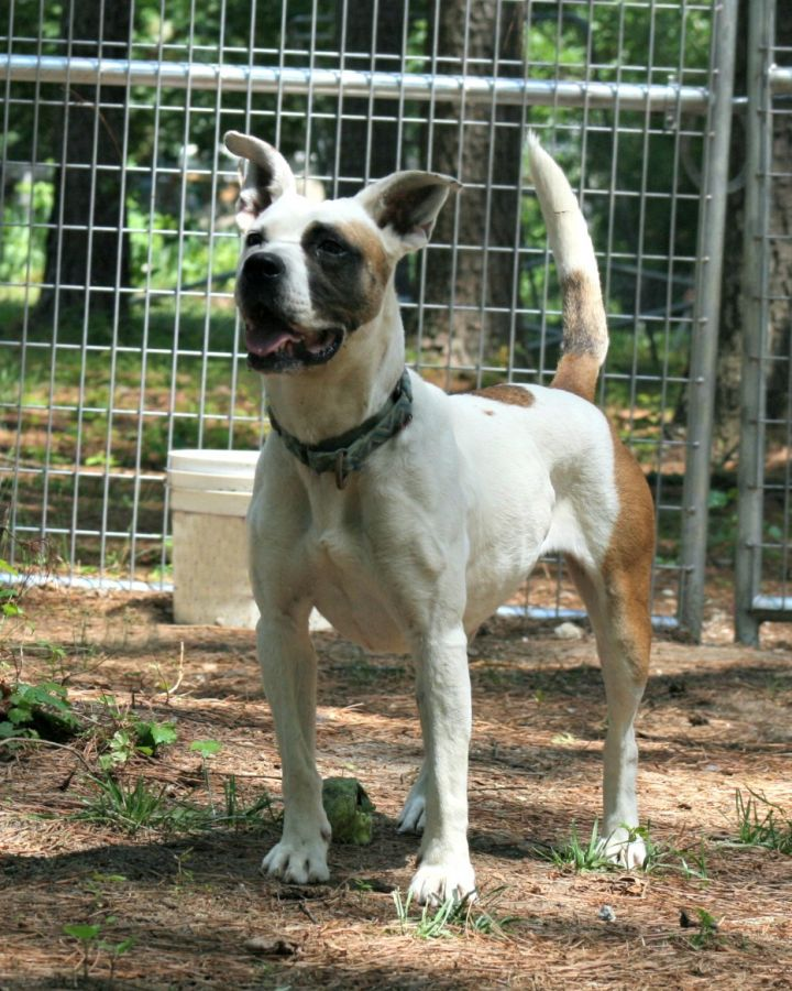 Mary, an adopted English Bulldog Mix in Clayton, NC