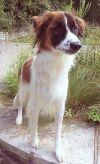 Shetland Sheepdog Sheltie Dog: **TOBY** MEET SEPT 22nd!