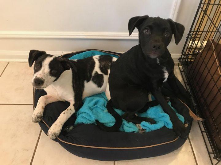Dog for adoption - Sadie Ann, a Boston Terrier Mix in