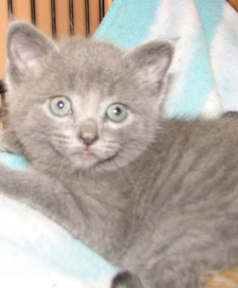 #4396 Jazzy - sponsored, an adopted Domestic Short Hair Mix in Lawrenceburg, KY