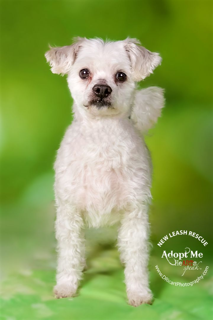 Sampson, an adoptable Maltese & Poodle Mix in Farmington, MN
