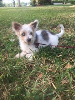 Mia, an adopted Maltese Mix in Davie, FL