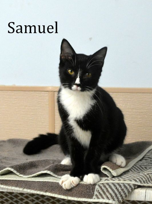 Samuel, an adopted Domestic Short Hair in Carneys Point, NJ