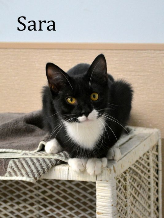 Sara, an adopted Domestic Short Hair in Carneys Point, NJ