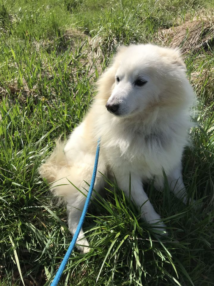 Snowball, an adopted Eskimo Dog in Dillsburg, PA