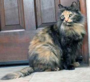 Cat for adoption - Feather - Stockton, CA, a Maine Coon Mix