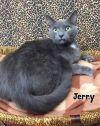 American Shorthair Cat: JERRY