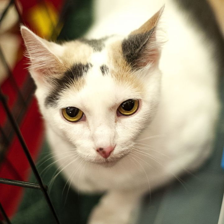 Sugar, an adopted Domestic Short Hair in Springfield, IL