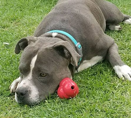 Dog for adoption - ROCKY, a Pit Bull Terrier in Riverside