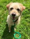 Norwich Terrier Dog: Happy