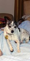 Chihuahua Dog: Pippa *F* - Bonded with Papito