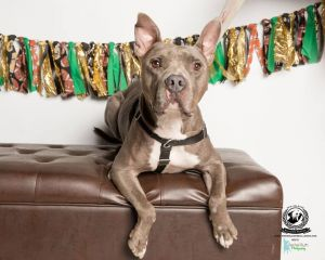This handsome 2 year old bully mix just wants to be loved Hes spent most of his life as an