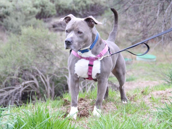 Thor, an adoptable Pit Bull Terrier in Grass Valley, CA