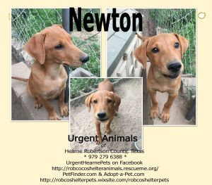 Newton Mountain Cur Dog