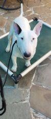 Bull Terrier Dog: Penny