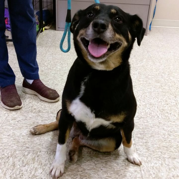 Brandy, an adopted Beagle & Miniature Pinscher Mix in Bloomington, IL
