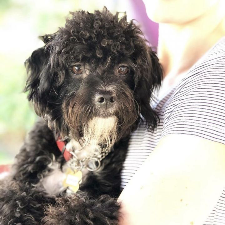 SHADOW, an adopted Poodle Mix in Santa Monica, CA