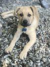 Labrador Retriever Dog: Duke - Fostered in NJ