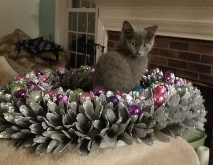 Shatzie, an adopted Domestic Short Hair in Leesburg, VA