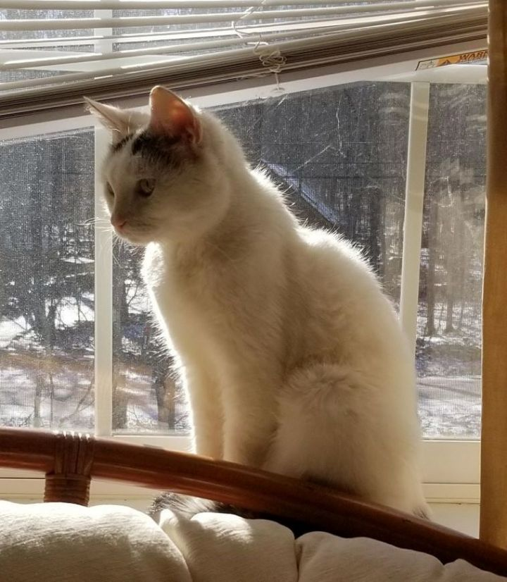 Greta, an adopted Domestic Short Hair in Forest Hills, NY
