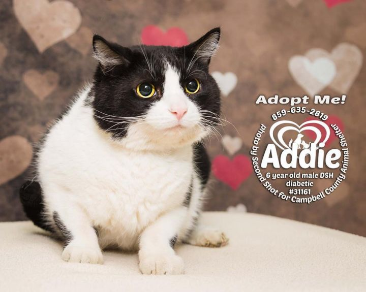 Addie, an adopted Domestic Short Hair in Melbourne, KY