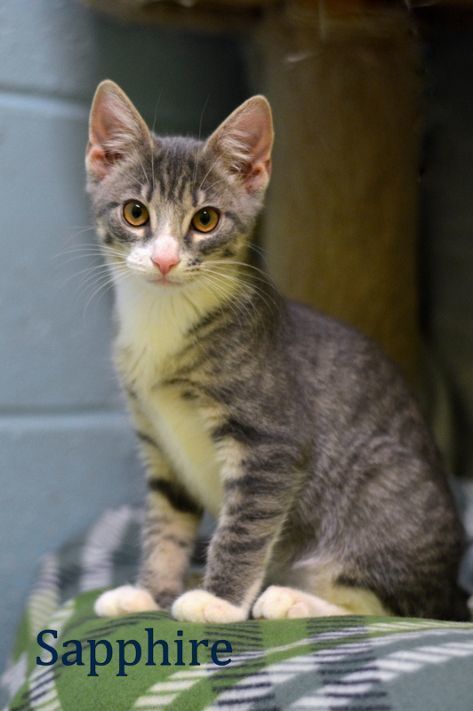 Sapphire, an adopted Tabby in Carneys Point, NJ